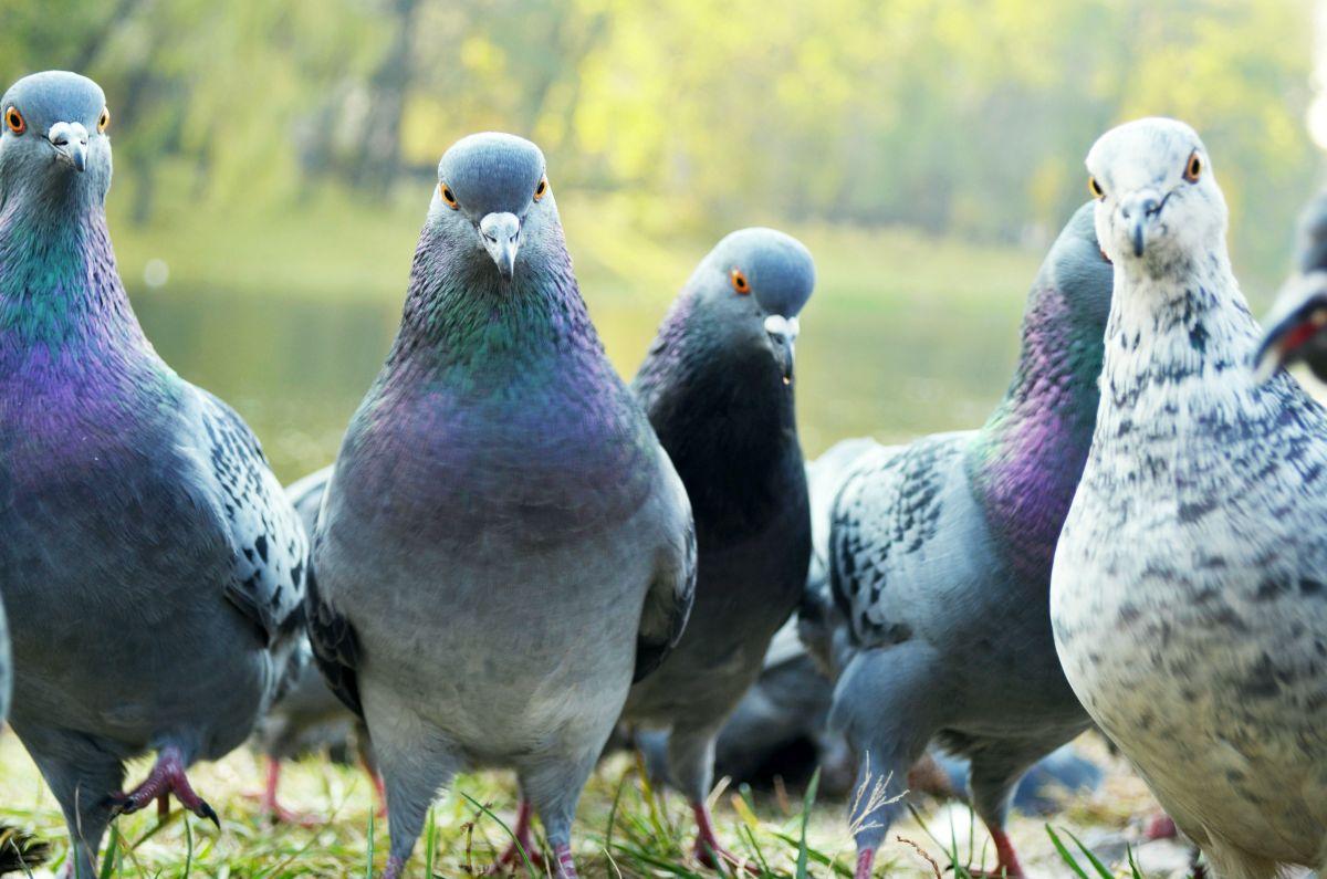 Pigeons dans l'herbe